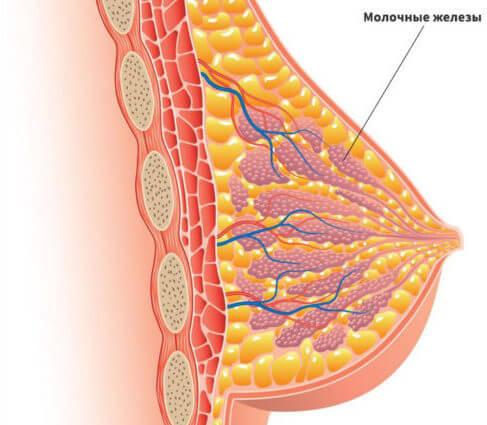 Структура молочных желез