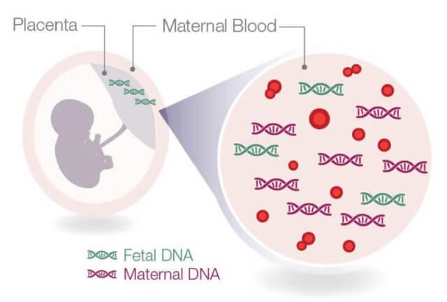 ДНК ребенка в материнской крови